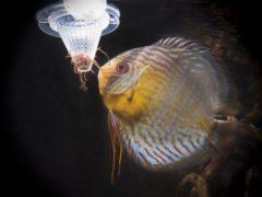 Как кормить рыб живым кормом