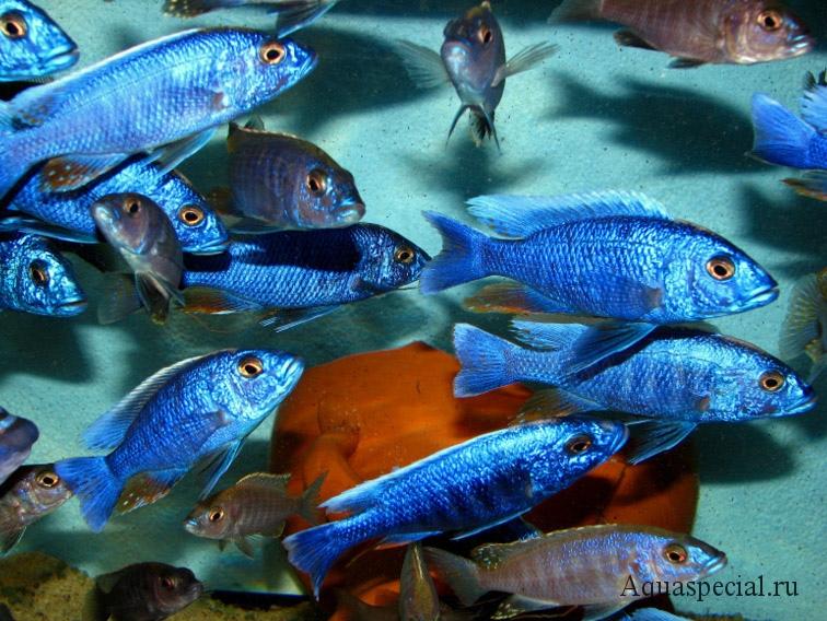 Цихлиды озера Малави. Утака