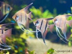 Рыбы скалярии фото