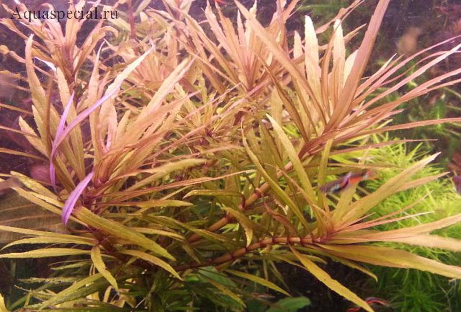 Кимберли (Pogostemon sp. Kimberley)