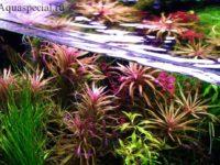 Погостемон: содержание и уход в аквариуме, виды
