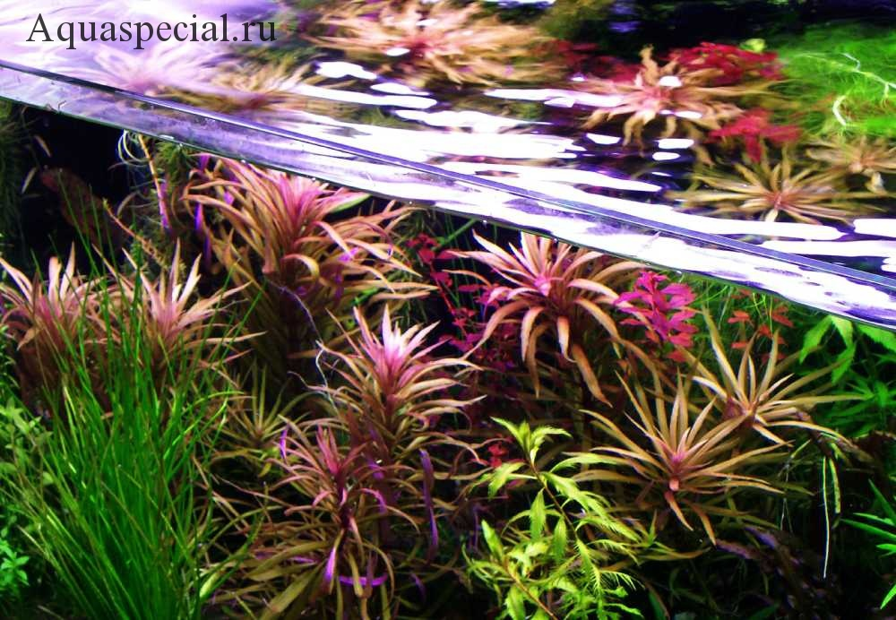 Погостемон в аквариуме. Красивый аквариум с растениями