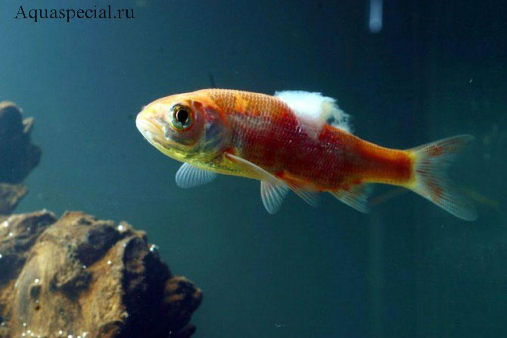 Сапролегниоз. Сапролегния у аквариумных рыб