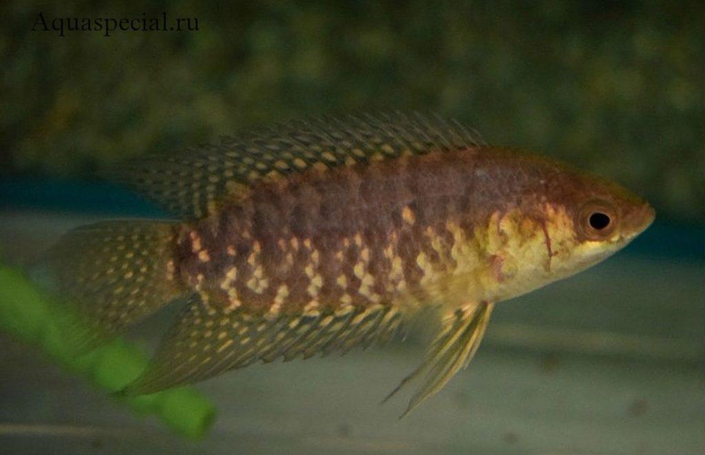 Ктенопома конголезская. Ctenopoma congicum,  Microctenopoma congicum