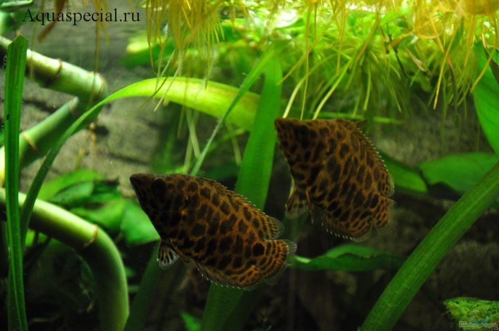 Ктенопома леопардовая. Ctenopoma acutirostre