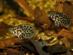 Семейство Анабасовых. Красивые аквариумные рыбки