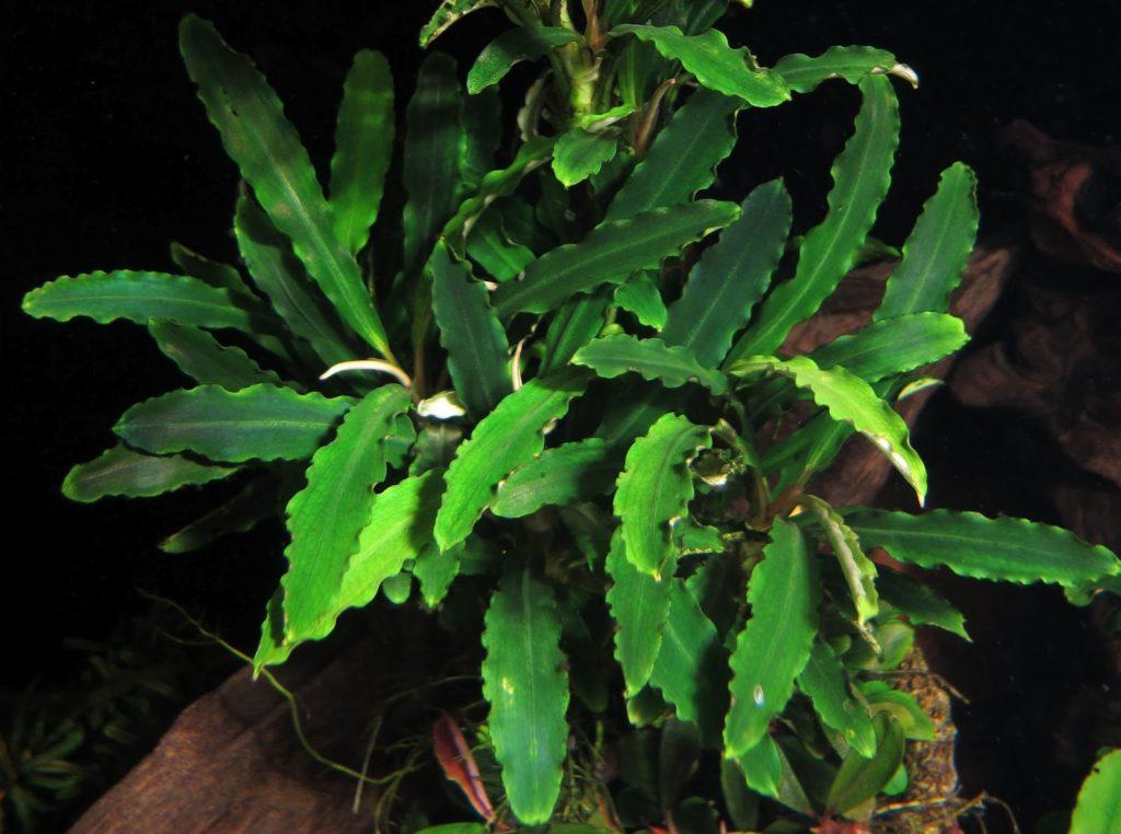 Bucephalandra sp. Green Wave. Буцефаландра зеленая волнистая грин вейв