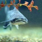 Акулий сом в аквариуме. Аквариумная рыбка пангасиус