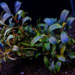 Красивое аквариумное растение