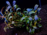 Буцефаландра (Bucephalandra): содержание растения в аквариуме, виды