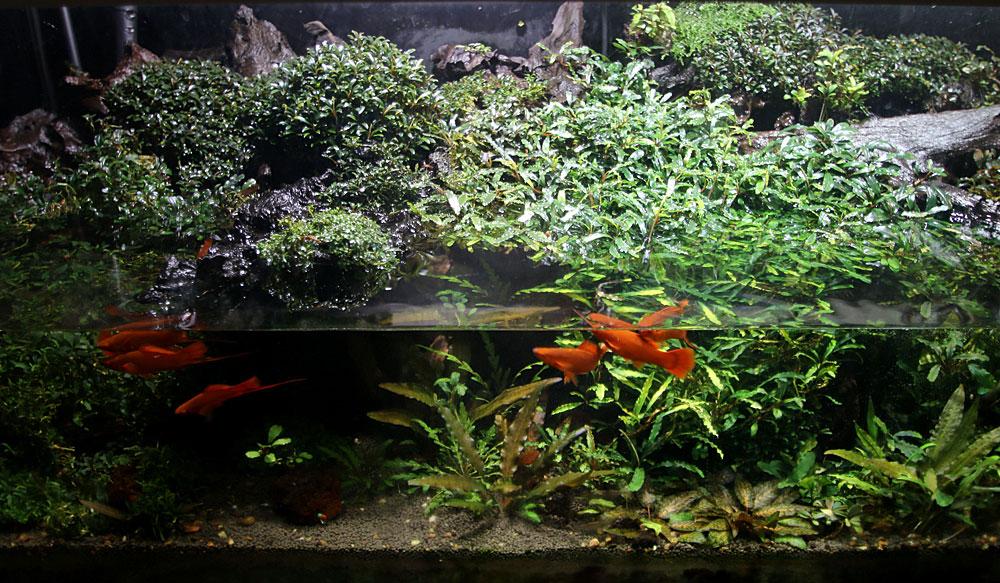 Видовой аквариум биотоп. Рыбки меченосцы в аквариуме