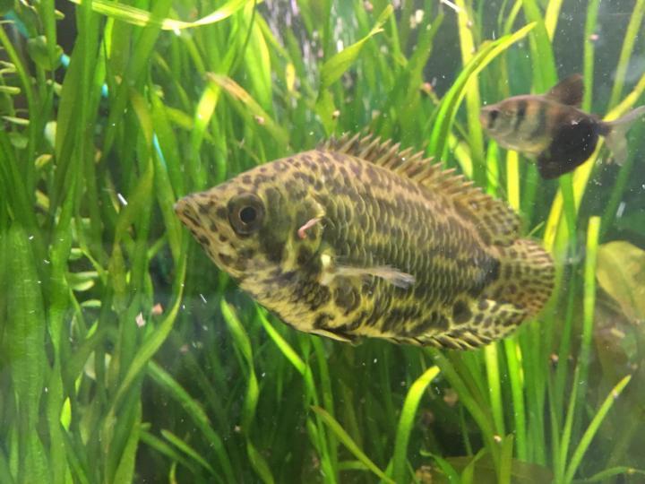 Совместимость аквариумных рыбок. Тернеция в аквариуме