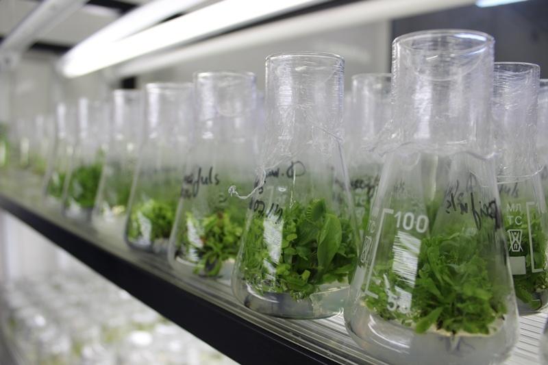 Меристемные растения in vitro