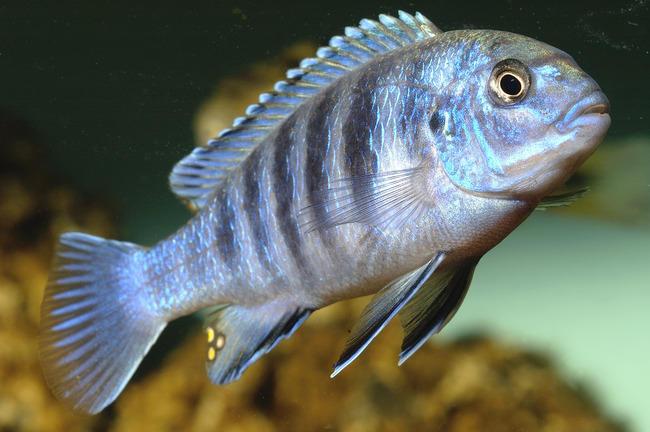 Лабидохромис голубой. Ливидус