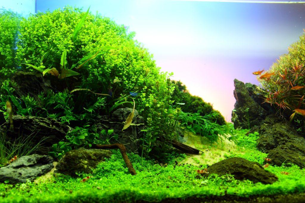 Дизайн аквариума. Аквариумные растения переднего плана