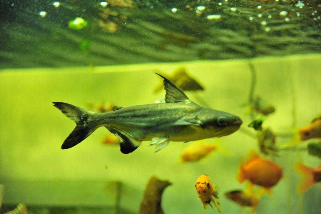 Совместимость пангасиуса в аквариуме