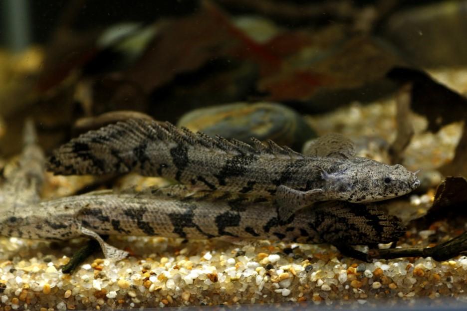 Полиптерус Эндлихера или тигровый многопер