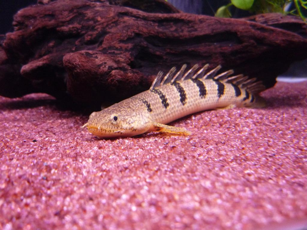 Содержание многопера в аквариуме. Необычные аквариумные рыбки