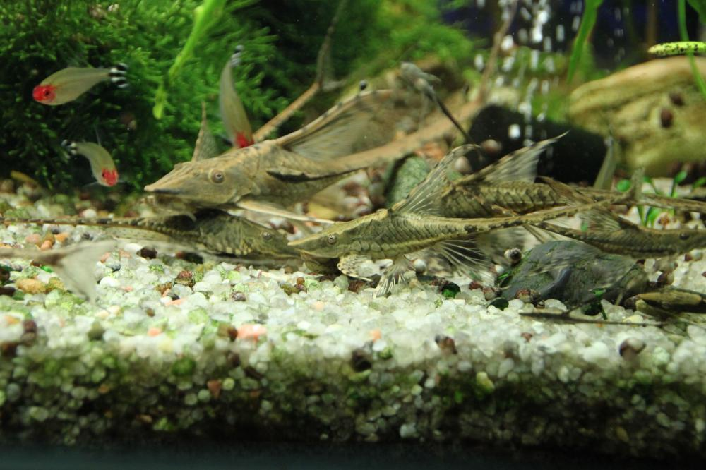 Родостомус или красноносая тетра совместимость в аквариуме
