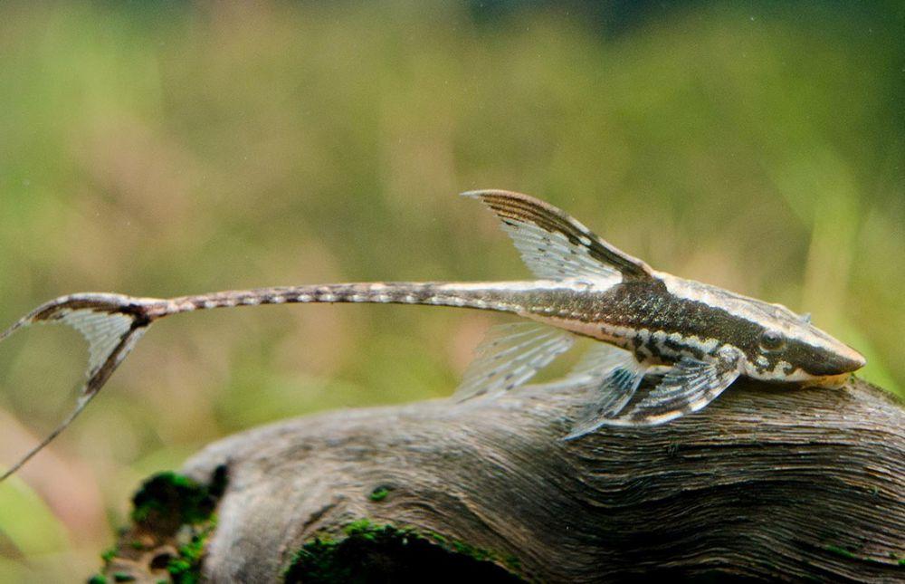 Стурисома в аквариуме. Необычные красивые аквариумные рыбки