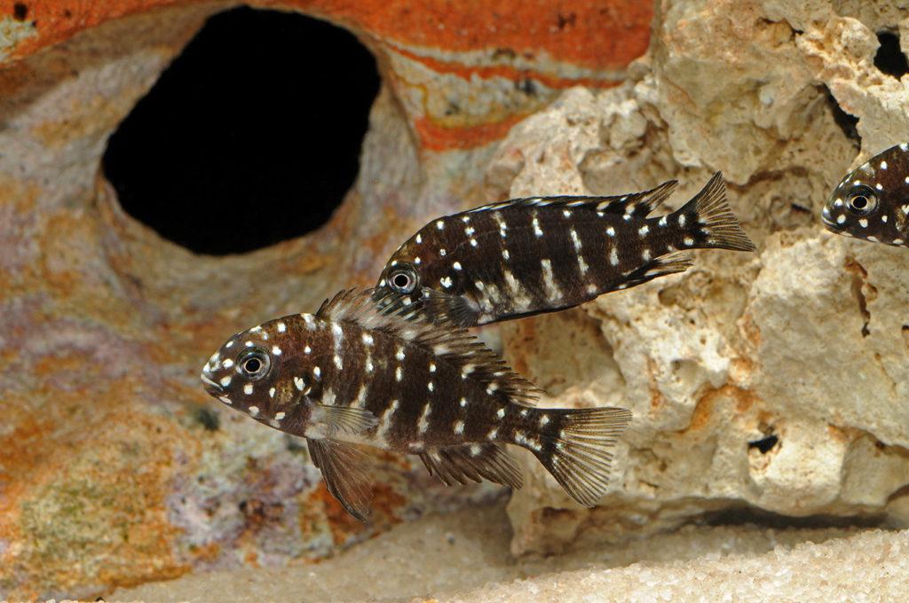 Красивые аквариумные рыбки. Семейство цихловые