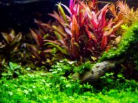 Альтернантера: содержание в аквариуме, виды, размножение