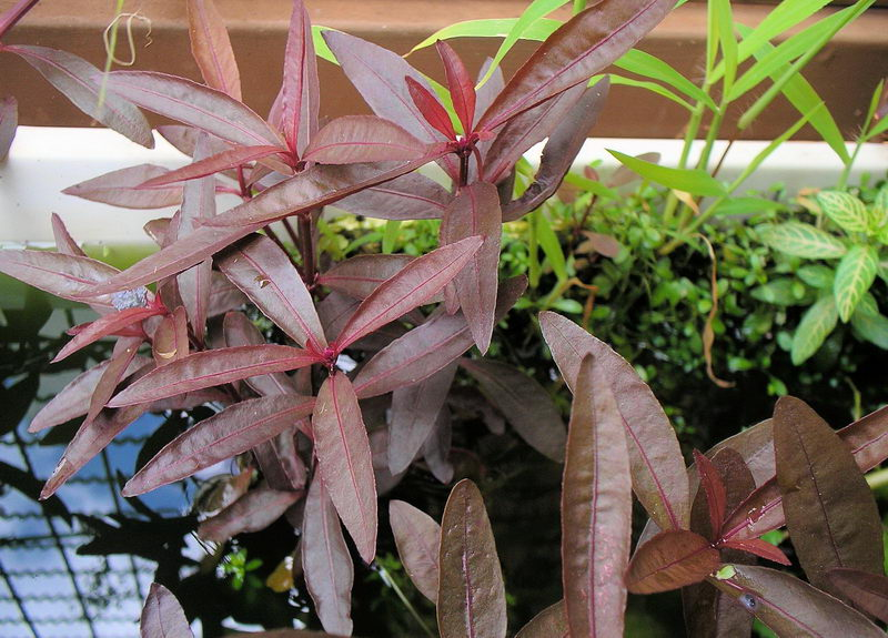 Альтернантера сидячая рубра (Alternanthera sesilis var. rubra)