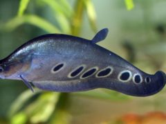 Рыба индийский нож – настоящий охотник. Он прячется в засаде (густые заросли, старые поваленные деревья, ветви, корни)