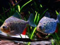 Метиннис: содержание рыбки в аквариуме, виды, совместимость