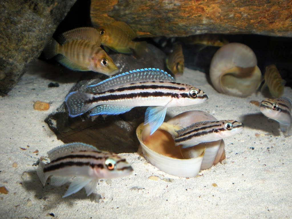Содержание Юлидохромисов в аквариуме, совместимость с другими рыбками