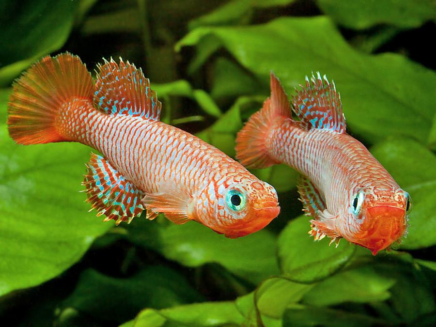 Содержание нотобранхиусов в аквариуме