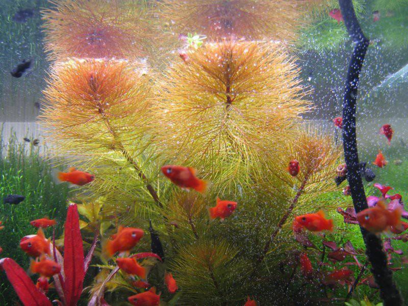 Неприхотливые аквариумные растения: уруть.