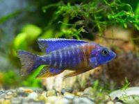 Аулонокара: содержание в аквариуме, виды, разведение