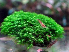 Мох феникс в аквариуме: содержание, размножение