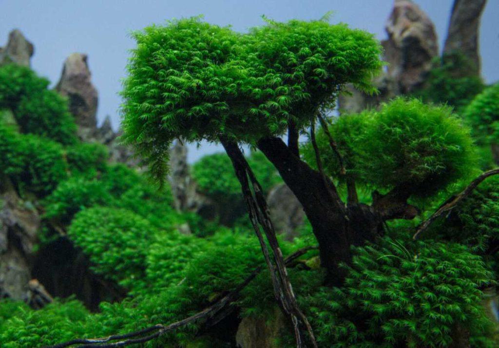 Как посадить мох феникс на корягу?