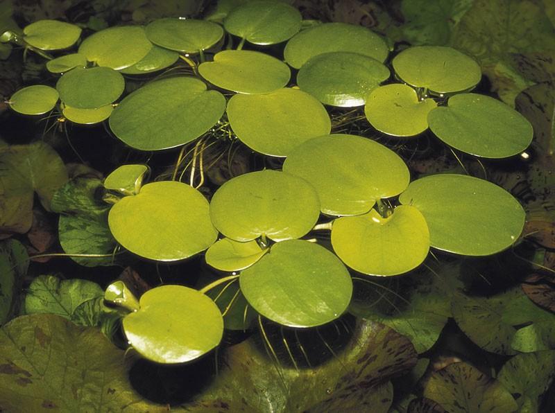 Лимнобиум побегоносный (Limnobium laevigatum)
