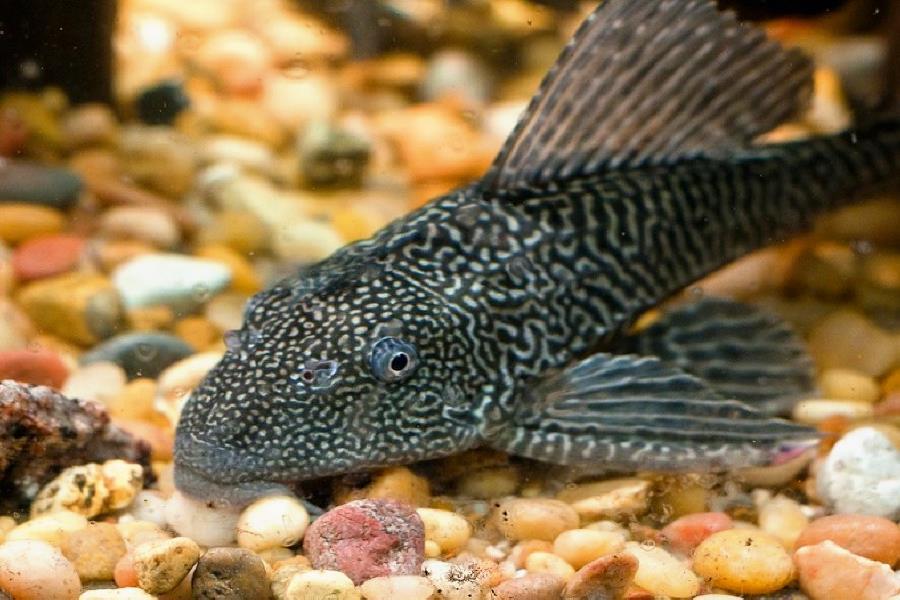 Содержание плекостомуса в аквариуме