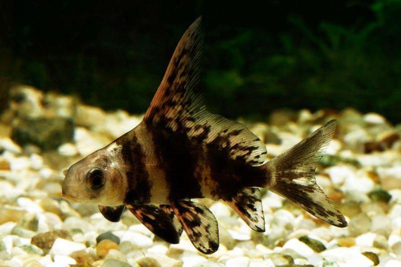 Чукучан или азиатский парусник (myxocyprinus asiaticus)