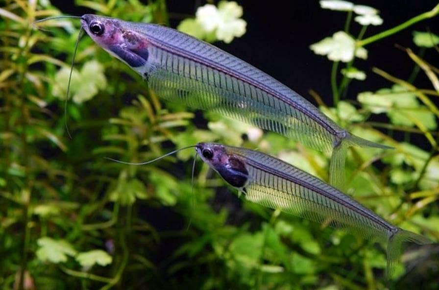 Рыба-призрак или стеклянный сомик
