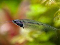 Стеклянный сом или рыба-призрак