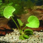 Нимфоидес или водный банан ( Nymphoides): содержание, размножение