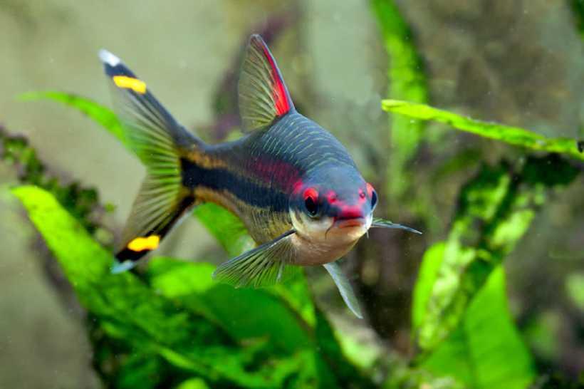 Барбус денисони (Sahyadria denisonii) фото рыбки