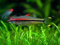 Барбус Денисони (Sahyadria denisonii): содержание в аквариуме, совместимость