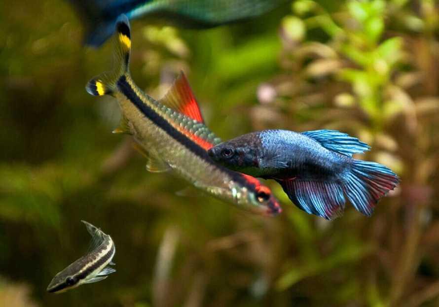Совместимость рыбки петушка и барбуса денисони