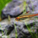 Эритрозонус или тетра светлячок: содержание в аквариуме, совместимость