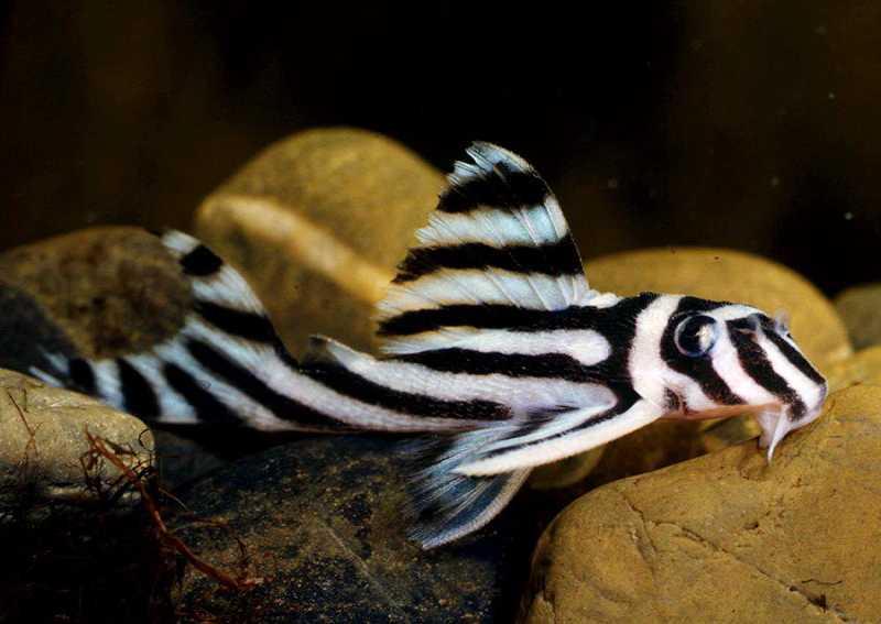 Аквариумные сомы. Гипанциструс зебра Hypancistrus Zebra L046