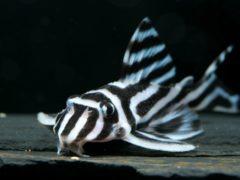 Гипанциструс зебра: содержание, совместимость, размножение