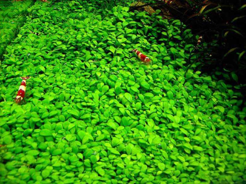 Глоссостигма повойничковая (Glossostigma elatinoides)