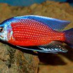 Копадихромис каданго: содержание, совместимость