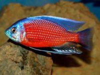Копадихромис Каданго или Красный Каданго